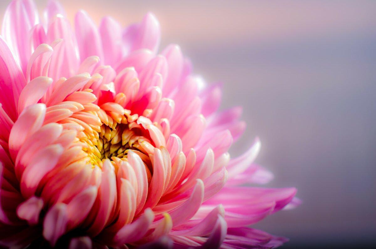 chrysanthemum-air-purifying-plant