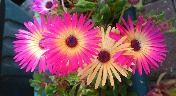 gerber-daisy-air-purifying-plant