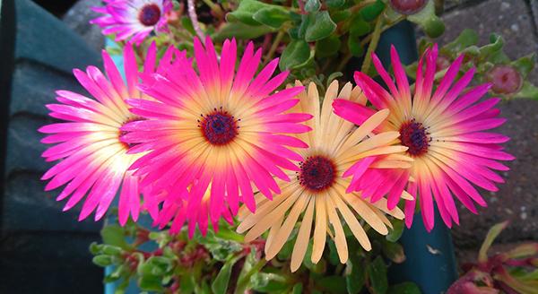 gerber-daisy-air-purifying-plant