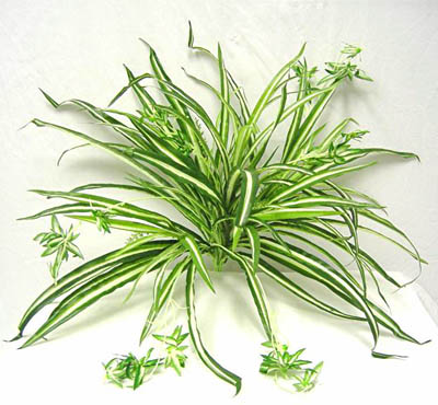 spider-plant-air-purifier