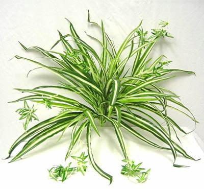 spider-plant-air-purifier