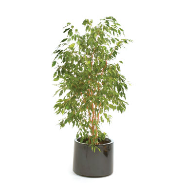 weeping-fig-air-purifying-plant