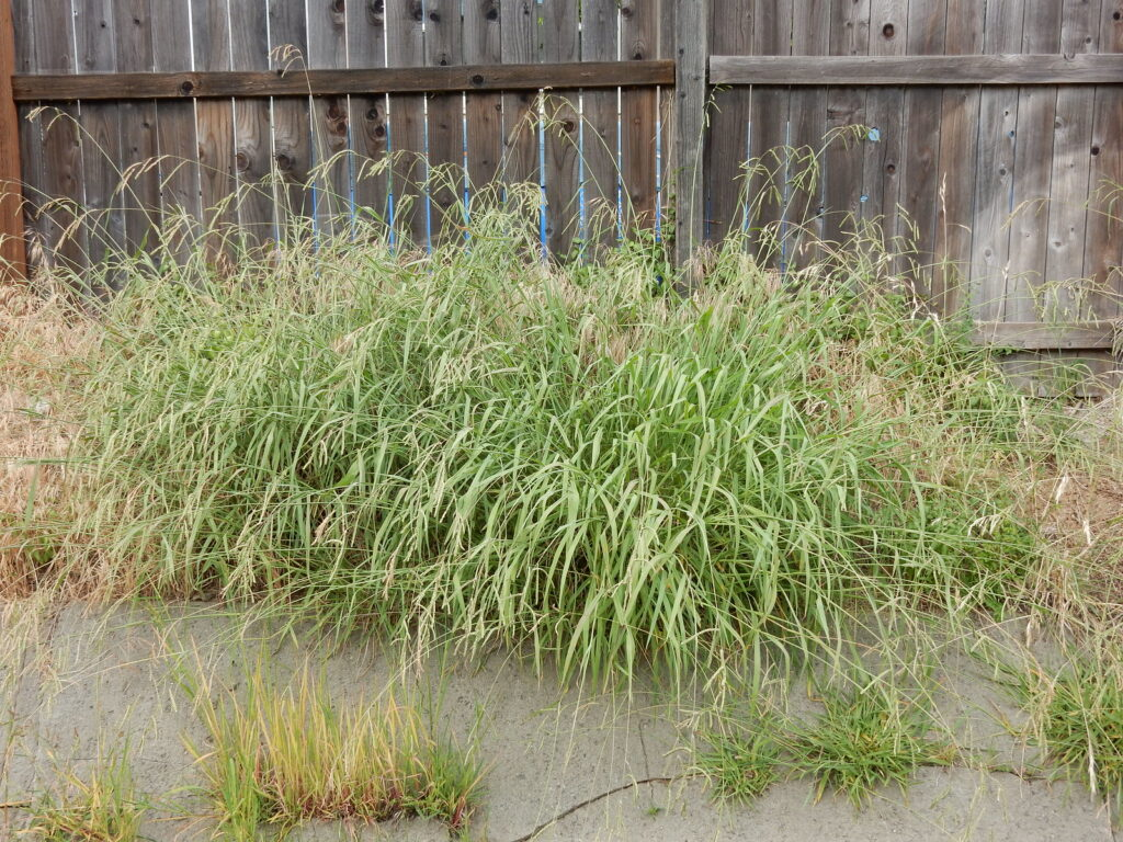 What Does Dallisgrass Look Like